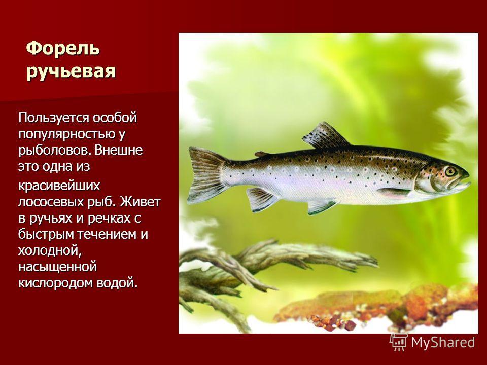 Форель ручьевая Пользуется особой популярностью у рыболовов. Внешне это одна из красивейших лососевых рыб. Живет в ручьях и речках с быстрым течением и холодной, насыщенной кислородом водой.