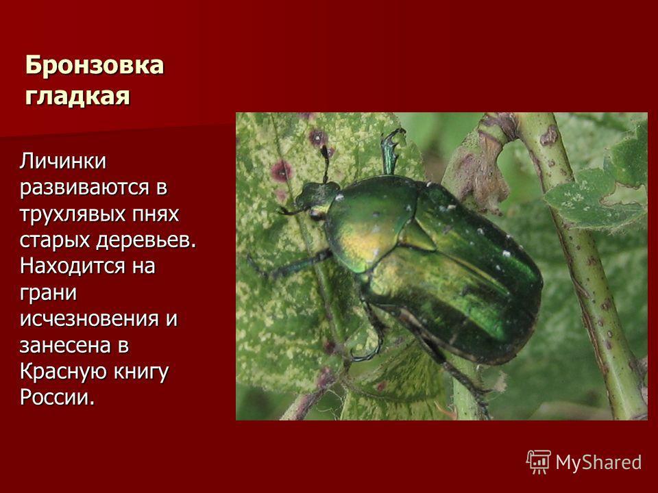 Бронзовка гладкая Личинки развиваются в трухлявых пнях старых деревьев. Находится на грани исчезновения и занесена в Красную книгу России.