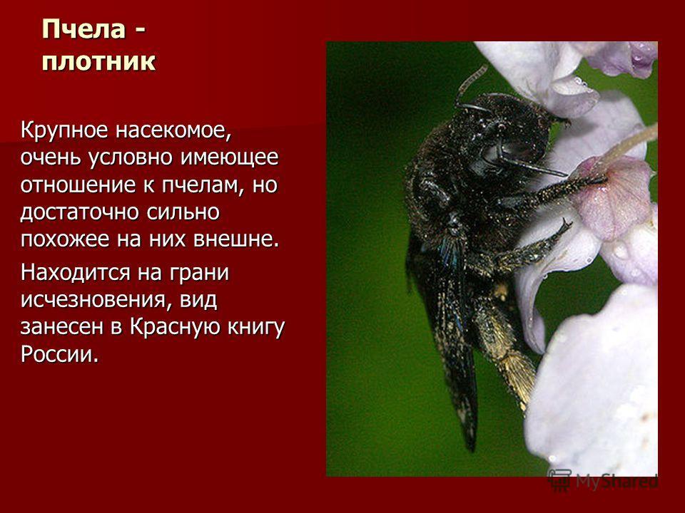 Пчела - плотник Крупное насекомое, очень условно имеющее отношение к пчелам, но достаточно сильно похожее на них внешне. Находится на грани исчезновения, вид занесен в Красную книгу России.