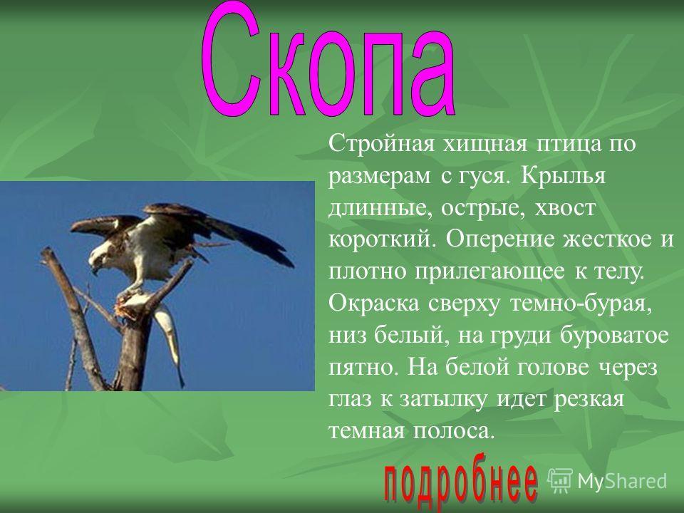 Стройная хищная птица по размерам с гуся. Крылья длинные, острые, хвост короткий. Оперение жесткое и плотно прилегающее к телу. Окраска сверху темно-бурая, низ белый, на груди буроватое пятно. На белой голове через глаз к затылку идет резкая темная п