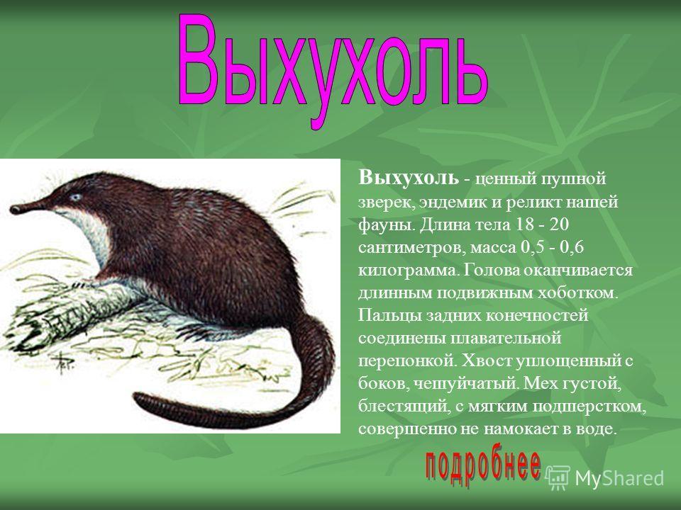 Выхухоль - ценный пушной зверек, эндемик и реликт нашей фауны. Длина тела 18 - 20 сантиметров, масса 0,5 - 0,6 килограмма. Голова оканчивается длинным подвижным хоботком. Пальцы задних конечностей соединены плавательной перепонкой. Хвост уплощенный с