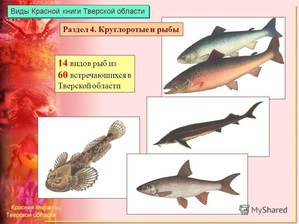 Виды Красной книги Тверской области 14 видов рыб из 60 встречающихся в Тверской области Раздел 4. Круглоротые и рыбы