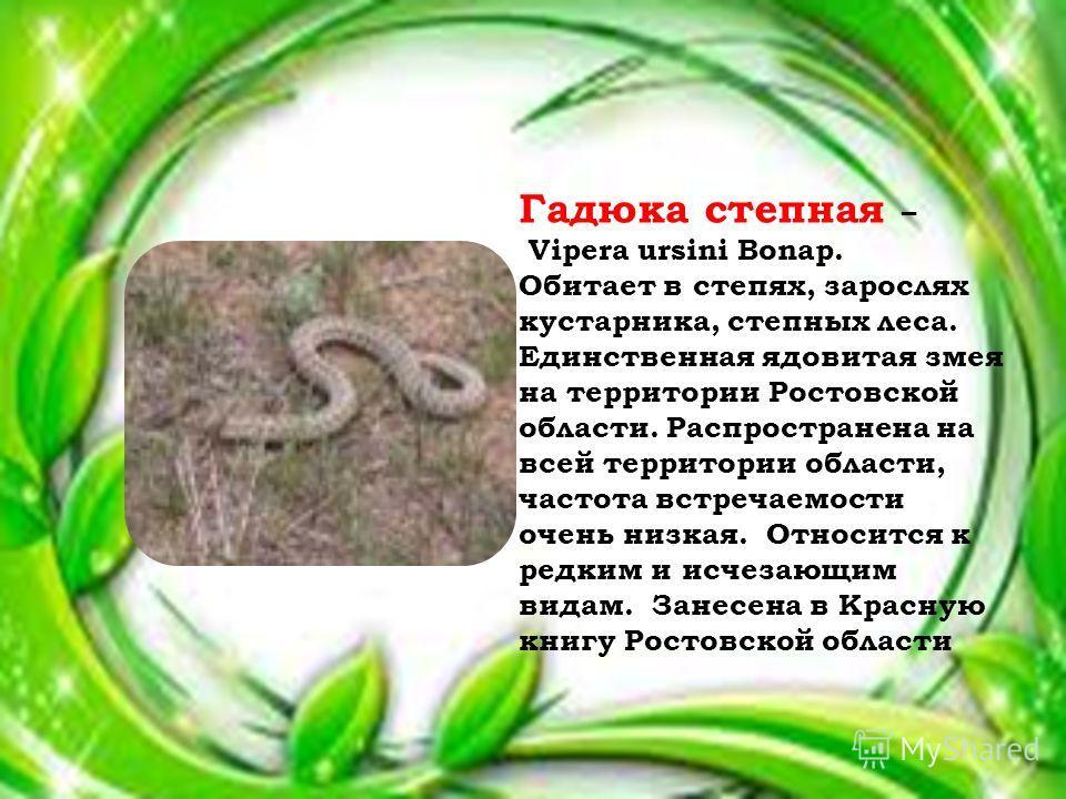 Гадюка степная – Vipera ursini Bonap. Обитает в степях, зарослях кустарника, степных леса. Единственная ядовитая змея на территории Ростовской области. Распространена на всей территории области, частота встречаемости очень низкая. Относится к редким