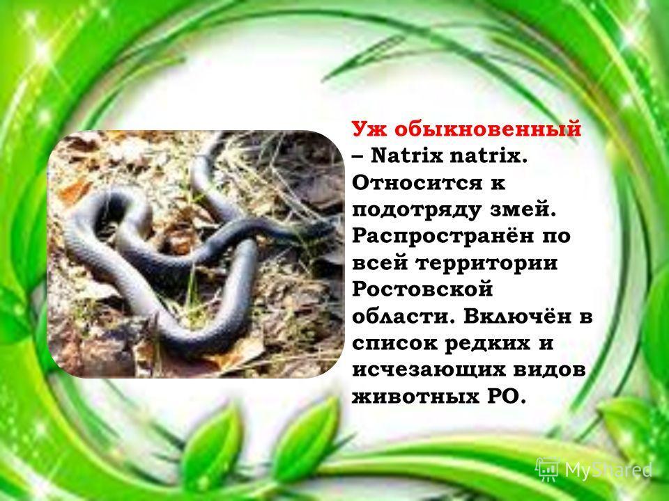 Уж обыкновенный – Natrix natrix. Относится к подотряду змей. Распространён по всей территории Ростовской области. Включён в список редких и исчезающих видов животных РО.