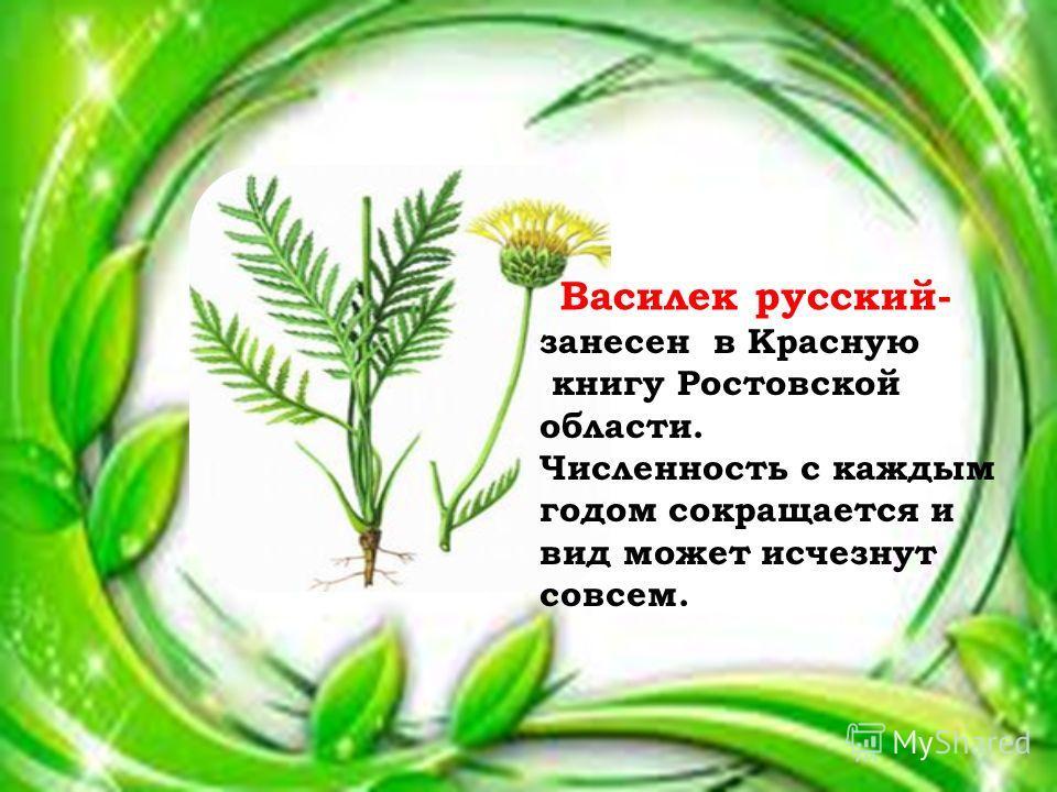 Василек русский- занесен в Красную книгу Ростовской области. Численность с каждым годом сокращается и вид может исчезнут совсем.