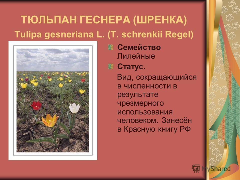 ТЮЛЬПАН ГЕСНЕРА (ШРЕНКА) Tulipa gesneriana L. (T. schrenkii Regel) Семейство Лилейные Статус. Вид, сокращающийся в численности в результате чрезмерного использования человеком. Занесён в Красную книгу РФ