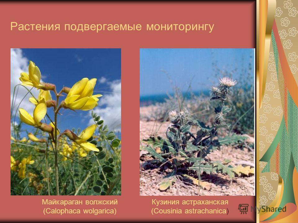 Растения подвергаемые мониторингу Майкараган волжский (Calophaca wolgarica) Кузиния астраханская (Cousinia astrachanica)