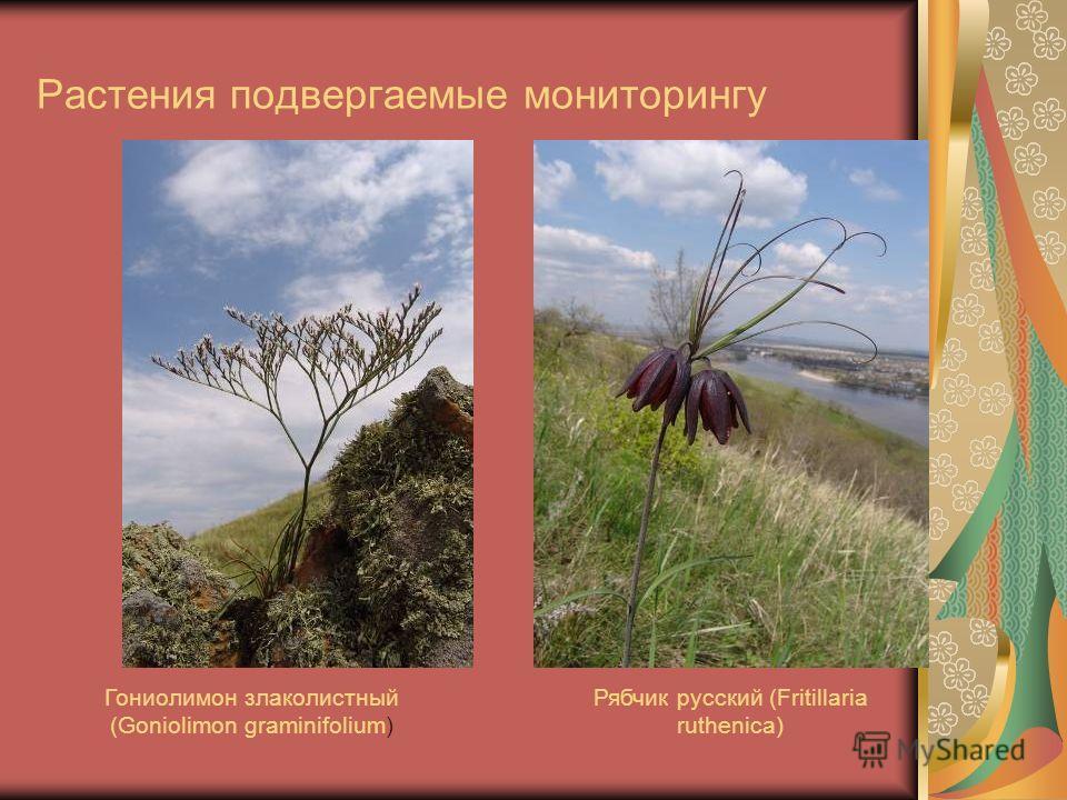 Растения подвергаемые мониторингу Рябчик русский (Fritillaria ruthenica) Гониолимон злаколистный (Goniolimon graminifolium)