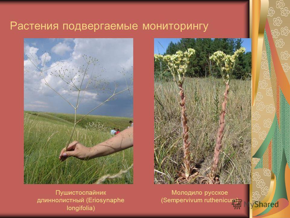 Растения подвергаемые мониторингу Пушистоспайник длиннолистный (Eriosynaphe longifolia) Молодило русское (Sempervivum ruthenicum)