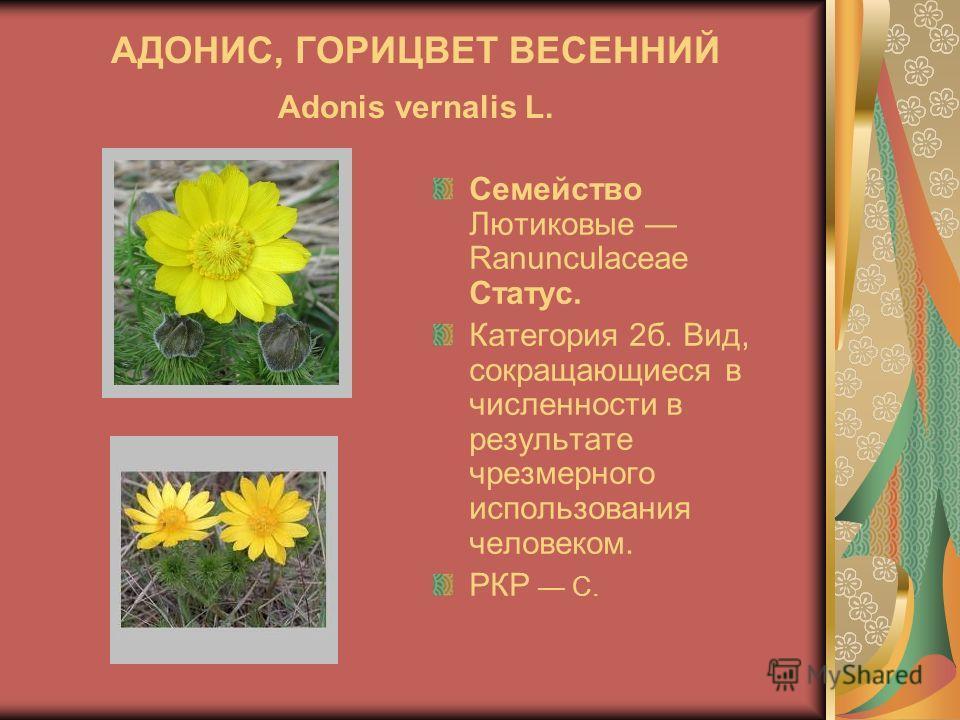 АДОНИС, ГОРИЦВЕТ ВЕСЕННИЙ Adonis vernalis L. Семейство Лютиковые Ranunculaceae Статус. Категория 2б. Вид, сокращающиеся в численности в результате чрезмерного использования человеком. РКР C.