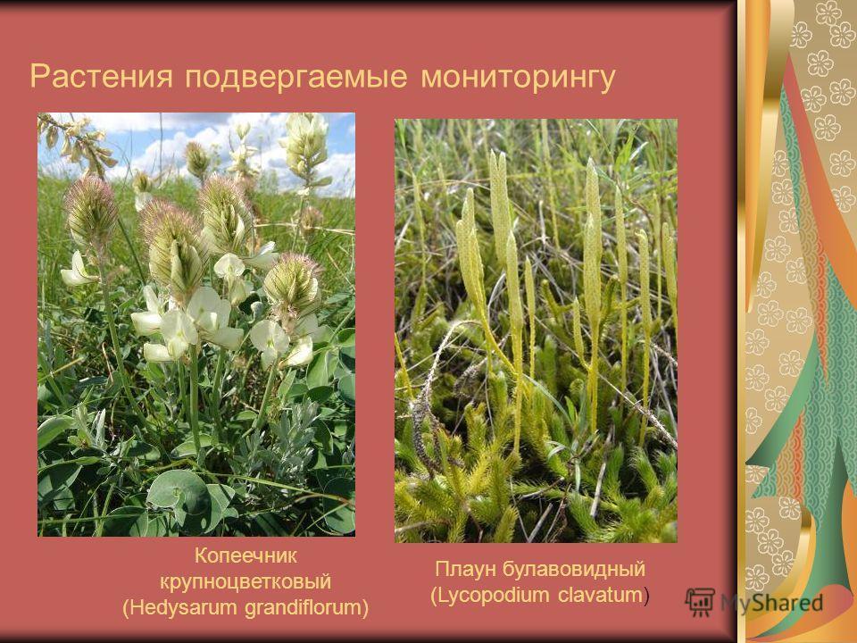 Растения подвергаемые мониторингу Копеечник крупноцветковый (Hedysarum grandiflorum) Плаун булавовидный (Lycopodium clavatum)