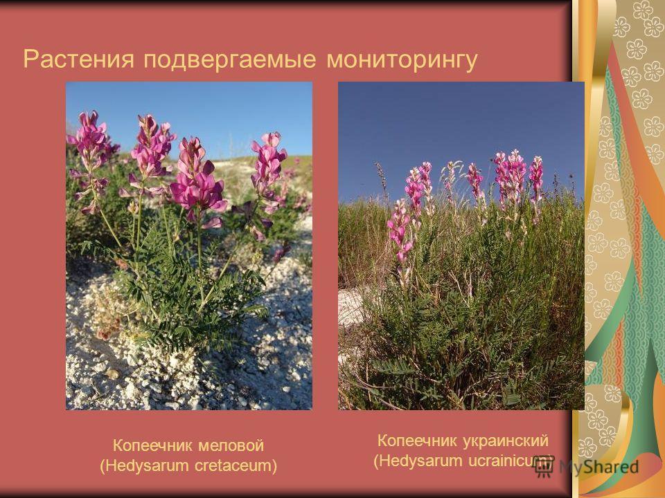 Растения подвергаемые мониторингу Копеечник меловой (Hedysarum cretaceum) Копеечник украинский (Hedysarum ucrainicum)