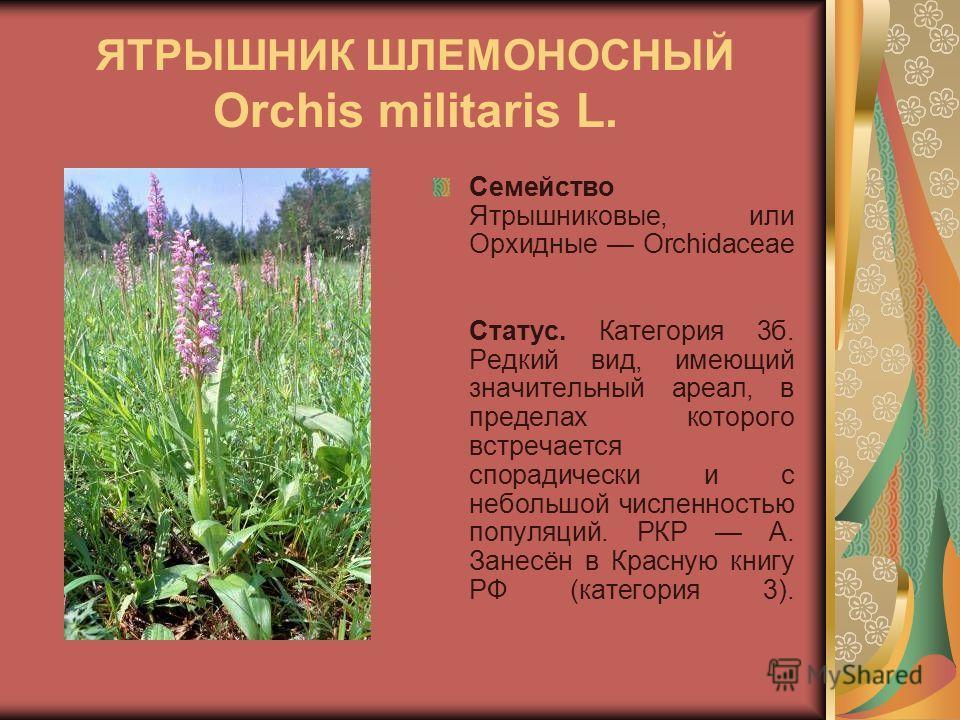 ЯТРЫШНИК ШЛЕМОНОСНЫЙ Orchis militaris L. Семейство Ятрышниковые, или Орхидные Orchidaceae Статус. Категория 3б. Редкий вид, имеющий значительный ареал, в пределах которого встречается спорадически и с небольшой численностью популяций. РКР А. Занесён