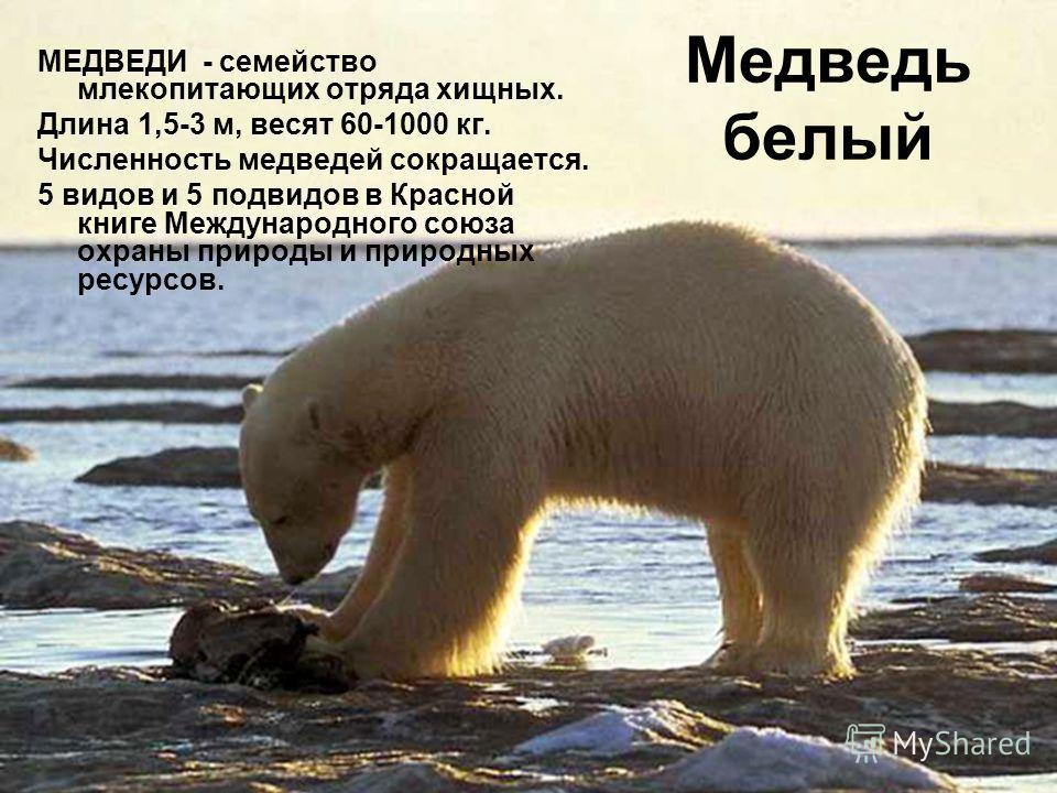 Медведь белый МЕДВЕДИ - семейство млекопитающих отряда хищных. Длина 1,5-3 м, весят 60-1000 кг. Численность медведей сокращается. 5 видов и 5 подвидов в Красной книге Международного союза охраны природы и природных ресурсов.