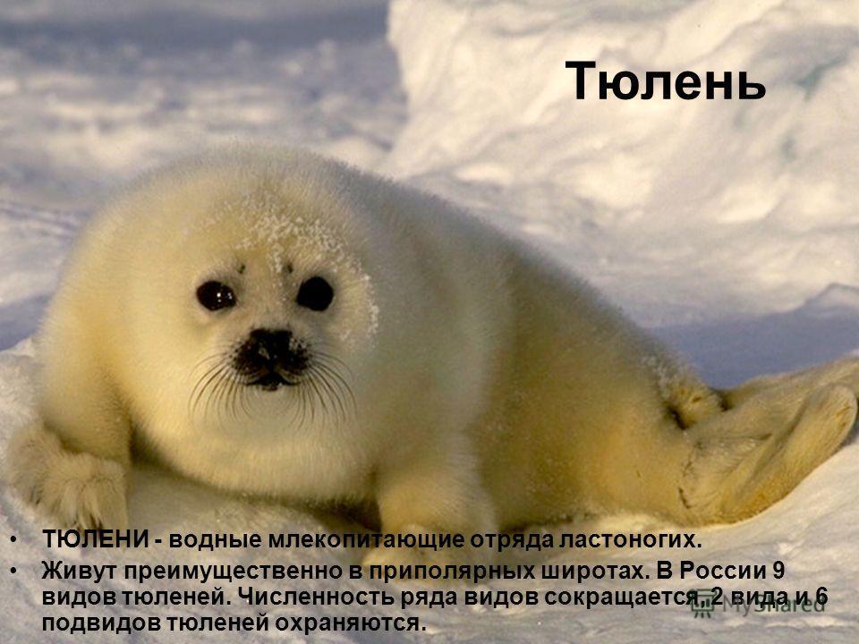 Тюлень ТЮЛЕНИ - водные млекопитающие отряда ластоногих. Живут преимущественно в приполярных широтах. В России 9 видов тюленей. Численность ряда видов сокращается, 2 вида и 6 подвидов тюленей охраняются.