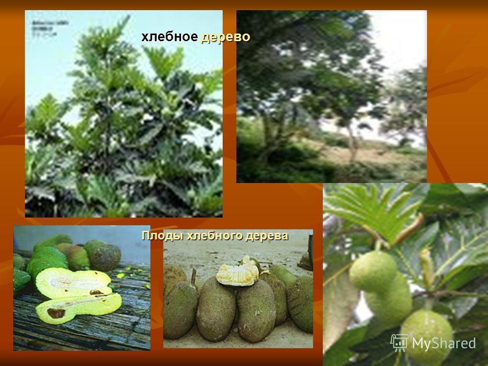хлебное дерево Плоды хлебного дерева