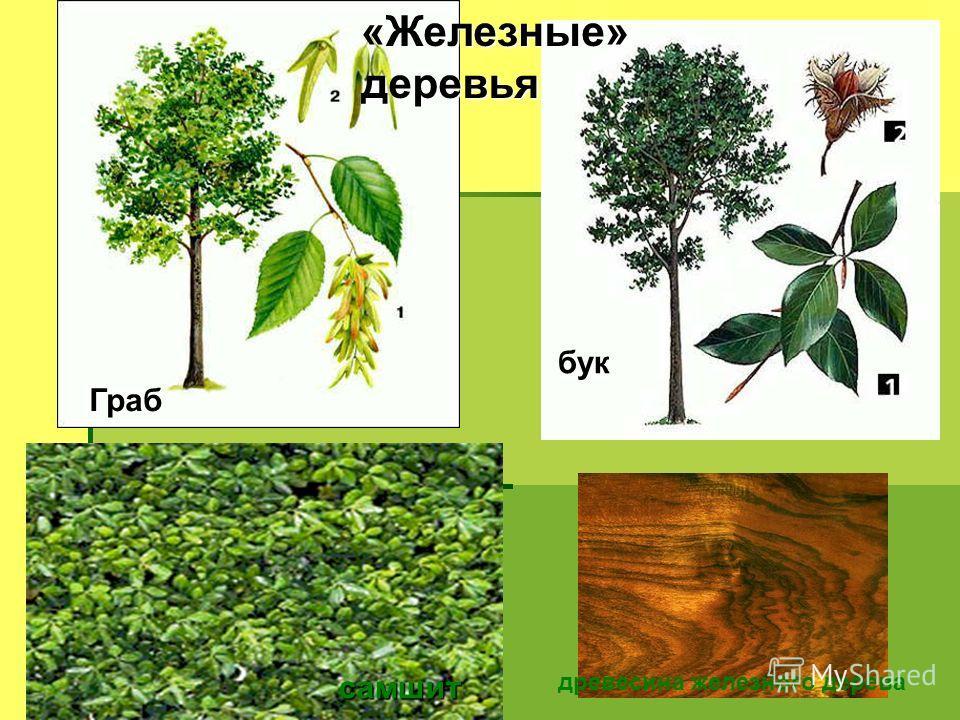 Граб бук «Железные» деревья самшит древесина железного дерева