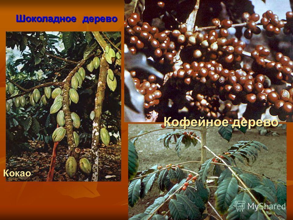 Кокао Кофейное дерево Шоколадное дерево