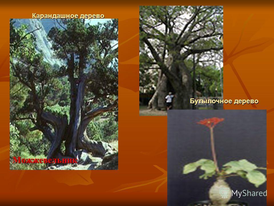 Можжевельник Карандашное дерево Бутылочное дерево