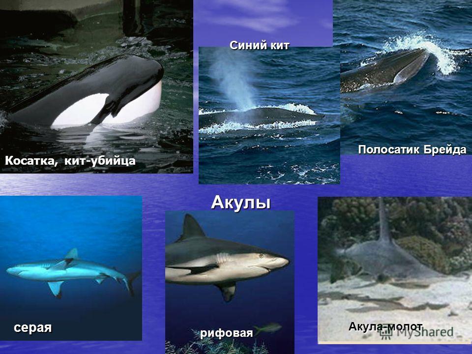 Косатка, кит-убийца Синий кит Полосатик Брейда Акулы серая рифовая Акула-молот