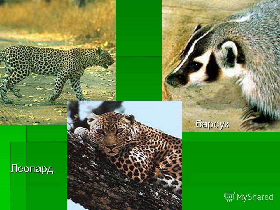 Леопард барсук