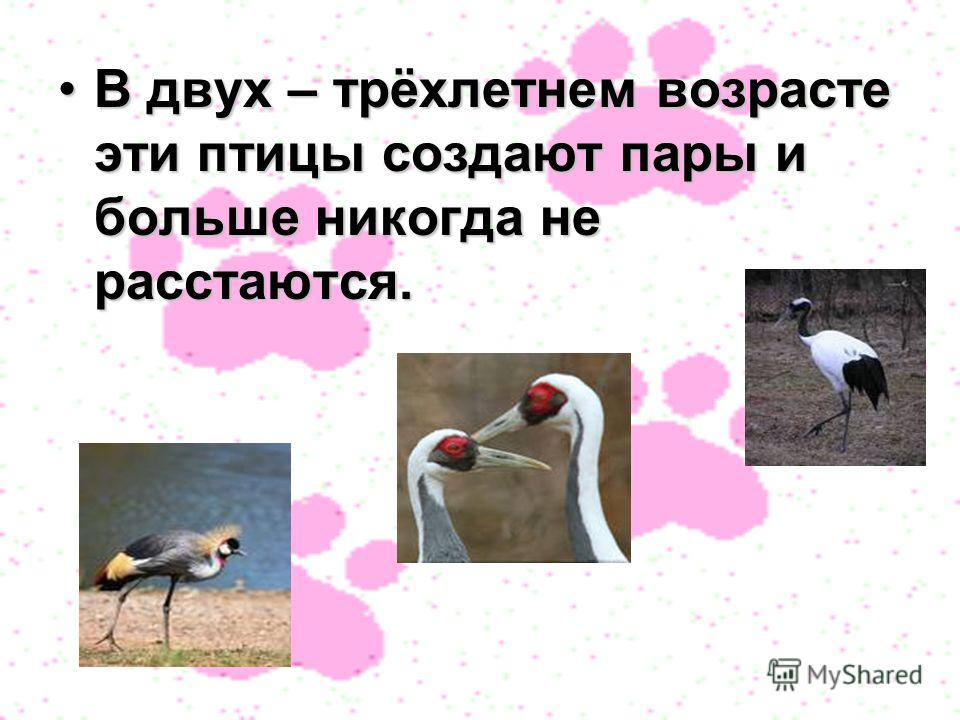 В двух – трёхлетнем возрасте эти птицы создают пары и больше никогда не расстаются.В двух – трёхлетнем возрасте эти птицы создают пары и больше никогда не расстаются.