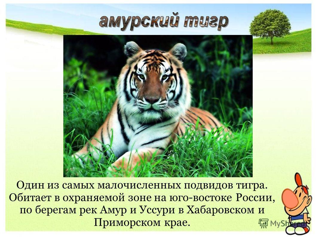 Один из самых малочисленных подвидов тигра. Обитает в охраняемой зоне на юго-востоке России, по берегам рек Амур и Уссури в Хабаровском и Приморском крае.