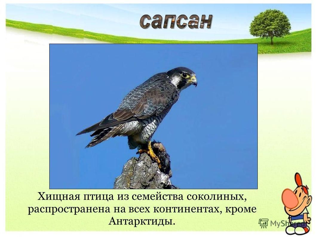 Хищная птица из семейства соколиных, распространена на всех континентах, кроме Антарктиды.