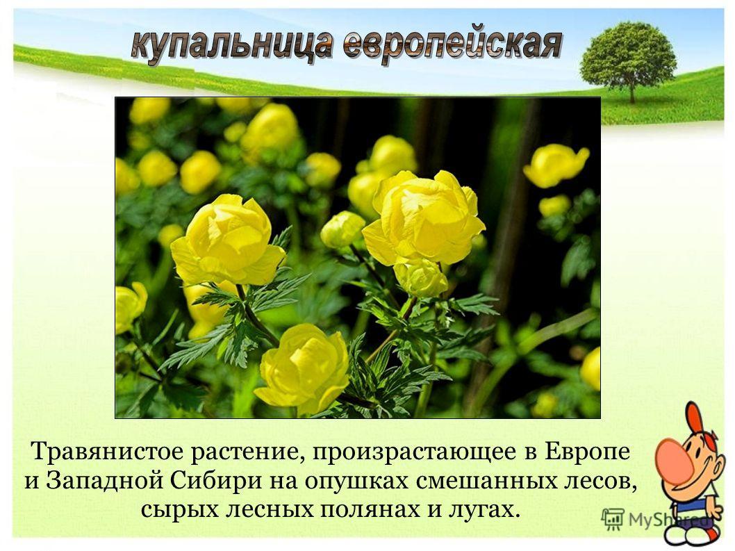 Травянистое растение, произрастающее в Европе и Западной Сибири на опушках смешанных лесов, сырых лесных полянах и лугах.