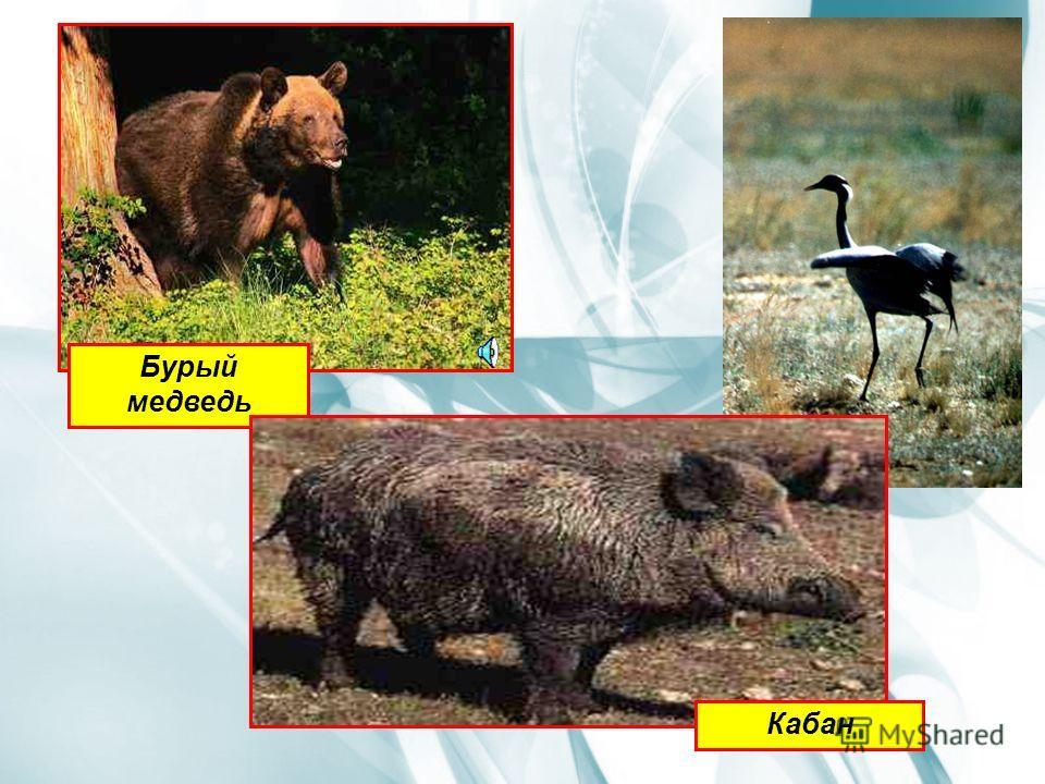 Наиболее типичные виды животных Бурый и гималайский медведь, соболь, харза, колонок, американская норка, амурский тигр, кабан, кабарга, косуля, уссурийский баклан, рябчик, белопоясный стриж, черноголовая гаичка, поползень, кедровка, дальневосточный л