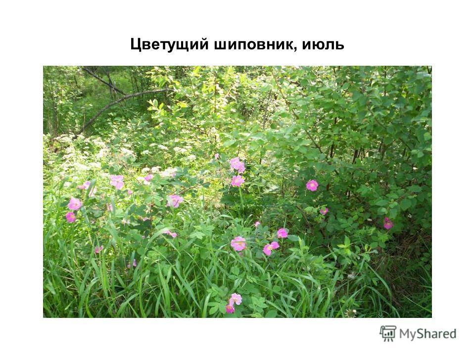 Цветущий шиповник, июль