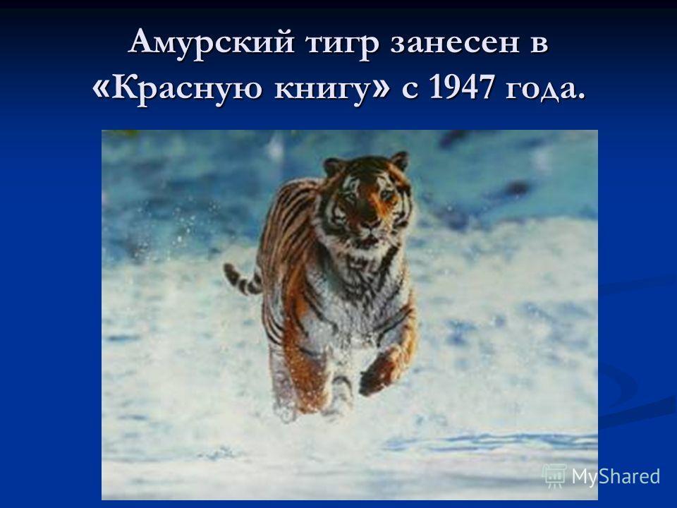 Амурский тигр занесен в « Красную книгу » с 1947 года.