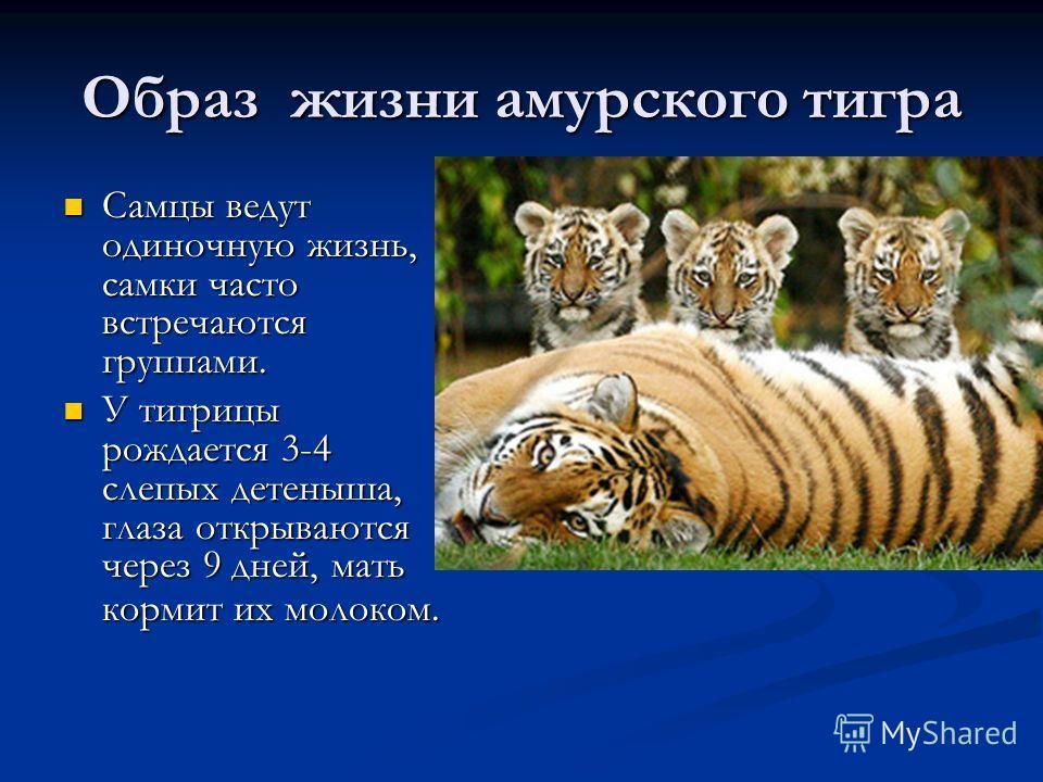 Образ жизни амурского тигра Самцы ведут одиночную жизнь, самки часто встречаются группами. Самцы ведут одиночную жизнь, самки часто встречаются группами. У тигрицы рождается 3-4 слепых детеныша, глаза открываются через 9 дней, мать кормит их молоком.