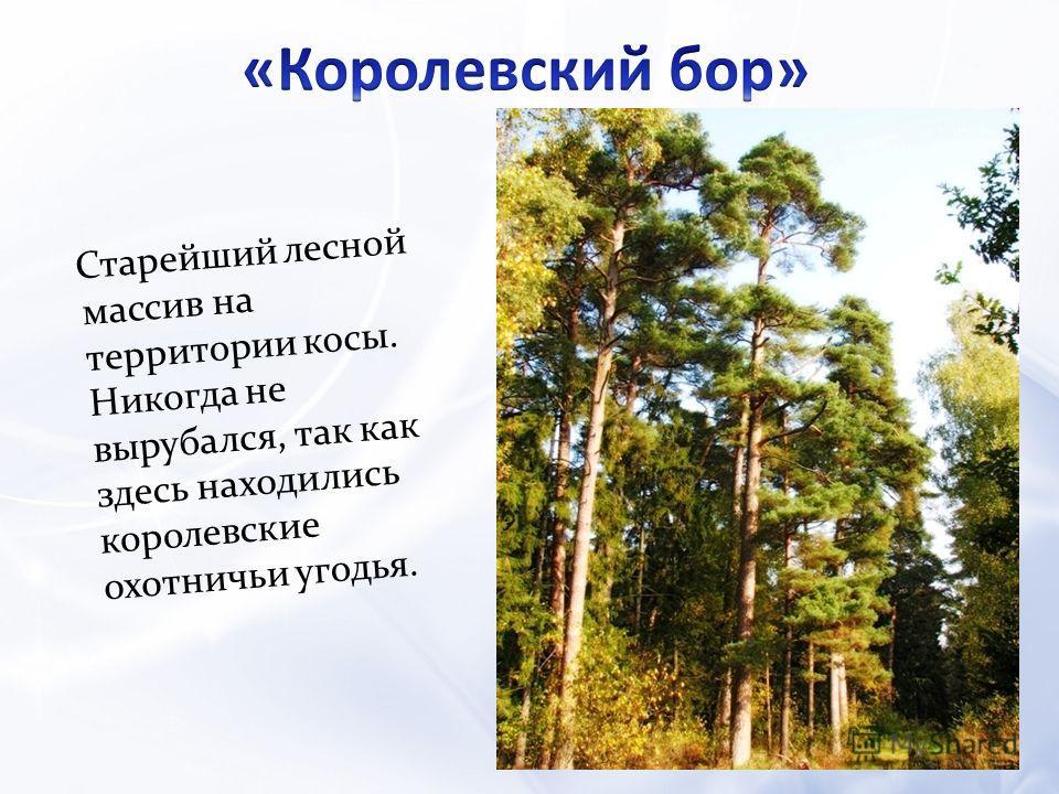 Старейший лесной массив на территории косы. Никогда не вырубался, так как здесь находились королевские охотничьи угодья.