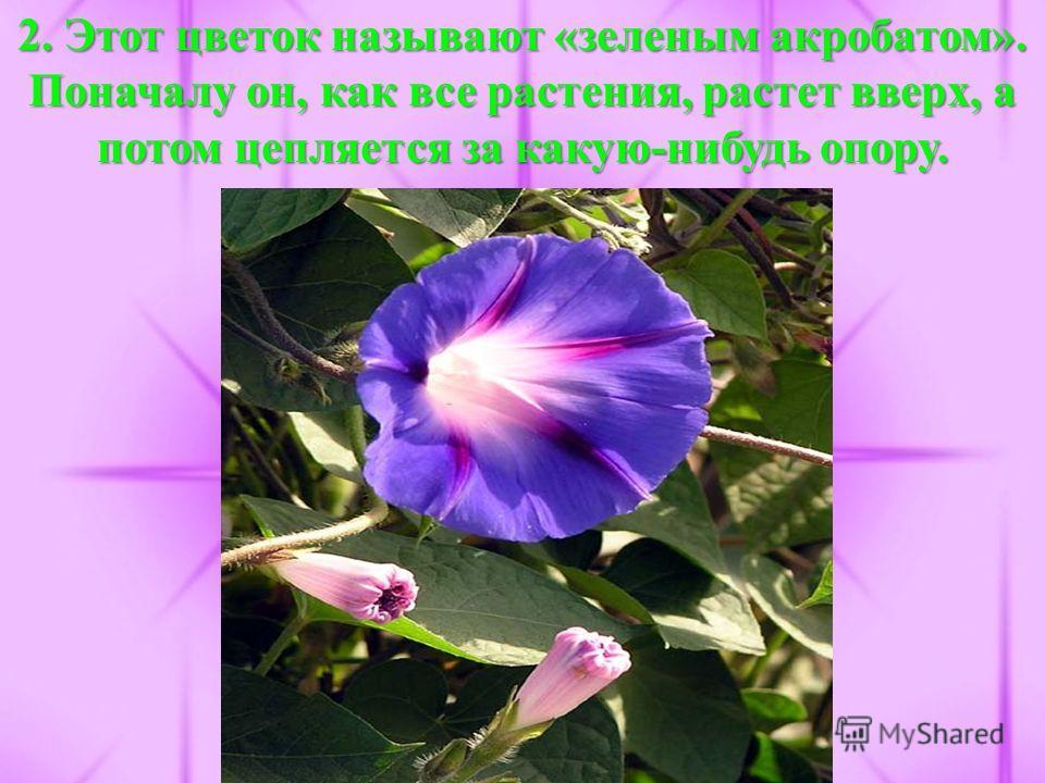 2. Этот цветок называют «зеленым акробатом». Поначалу он, как все растения, растет вверх, а потом цепляется за какую-нибудь опору.