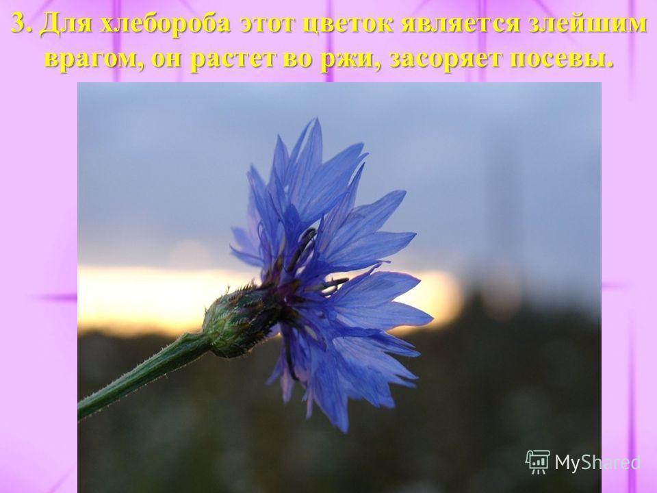 3. Для хлебороба этот цветок является злейшим врагом, он растет во ржи, засоряет посевы.