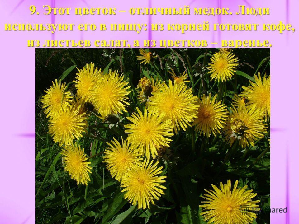 9. Этот цветок – отличный медок. Люди используют его в пищу: из корней готовят кофе, из листьев салат, а из цветков – варенье.