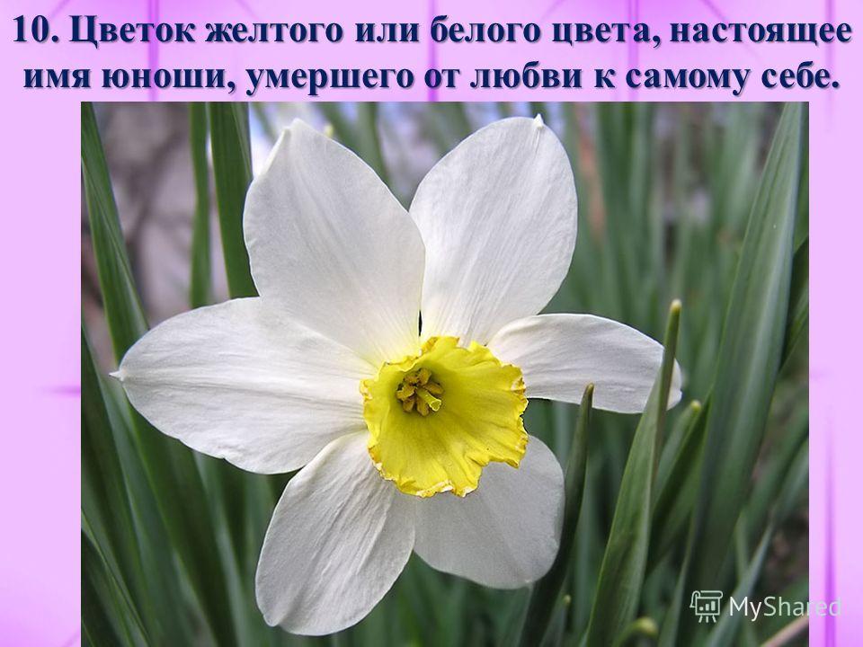 10. Цветок желтого или белого цвета, настоящее имя юноши, умершего от любви к самому себе.