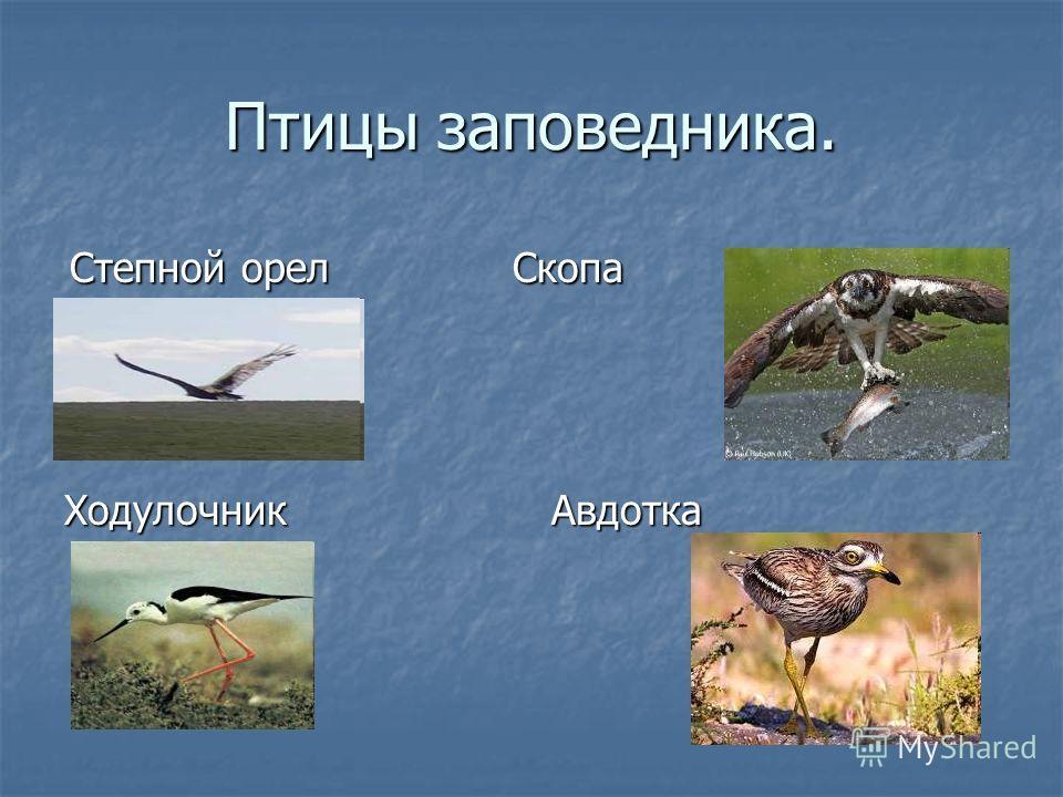 Птицы заповедника. ХодулочникАвдотка Степной орел Скопа Степной орел Скопа