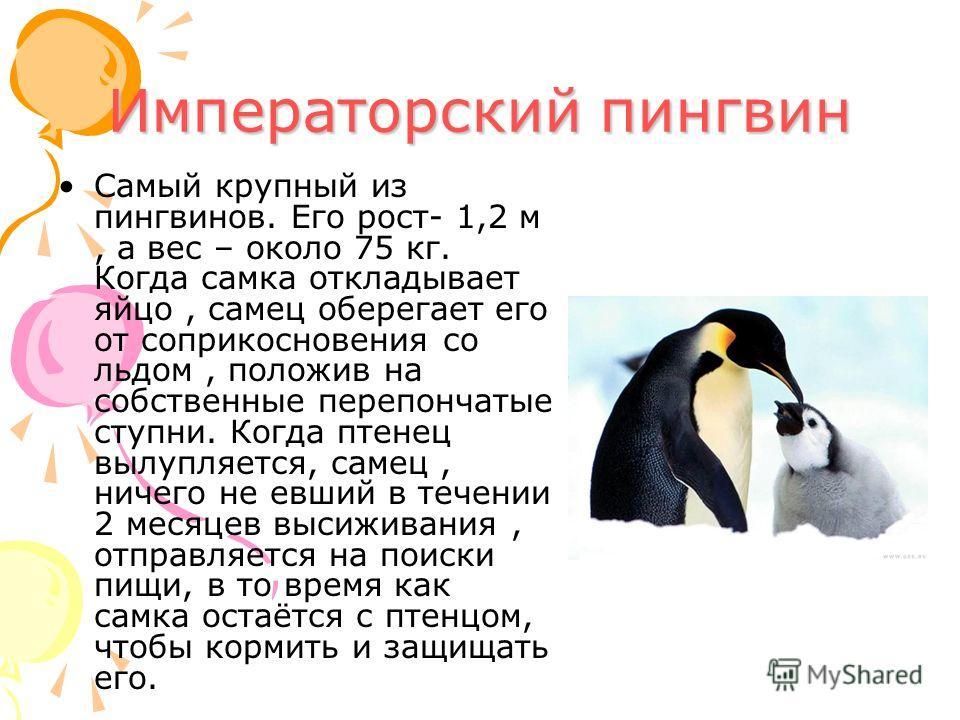 Императорский пингвин Самый крупный из пингвинов. Его рост- 1,2 м, а вес – около 75 кг. Когда самка откладывает яйцо, самец оберегает его от соприкосновения со льдом, положив на собственные перепончатые ступни. Когда птенец вылупляется, самец, ничего