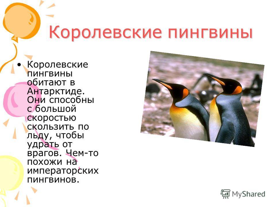 Королевские пингвины Королевские пингвины обитают в Антарктиде. Они способны с большой скоростью скользить по льду, чтобы удрать от врагов. Чем-то похожи на императорских пингвинов.