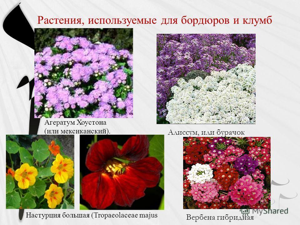 Растения, используемые для бордюров и клумб Агератум Хоустона (или мексиканский). Настурция большая (Tropaeolaceae mаjus Алиссум, или бурачок Вербена гибридная
