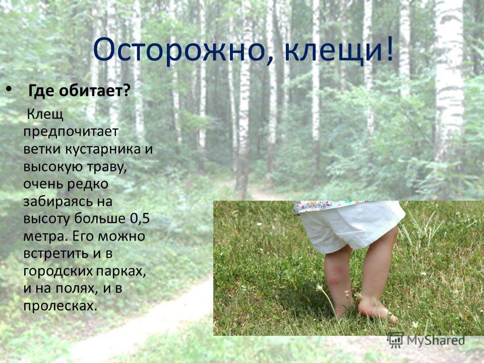 Осторожно, клещи! Где обитает? Клещ предпочитает ветки кустарника и высокую траву, очень редко забираясь на высоту больше 0,5 метра. Его можно встретить и в городских парках, и на полях, и в пролесках.