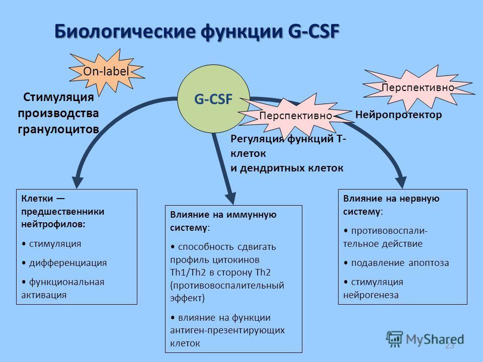 23 G-CSF Биологические функции G-CSF Клетки предшественники нейтрофилов: стимуляция дифференциация функциональная активация Влияние на иммунную систему: способность сдвигать профиль цитокинов Th1/Th2 в сторону Th2 (противовоспалительный эффект) влиян