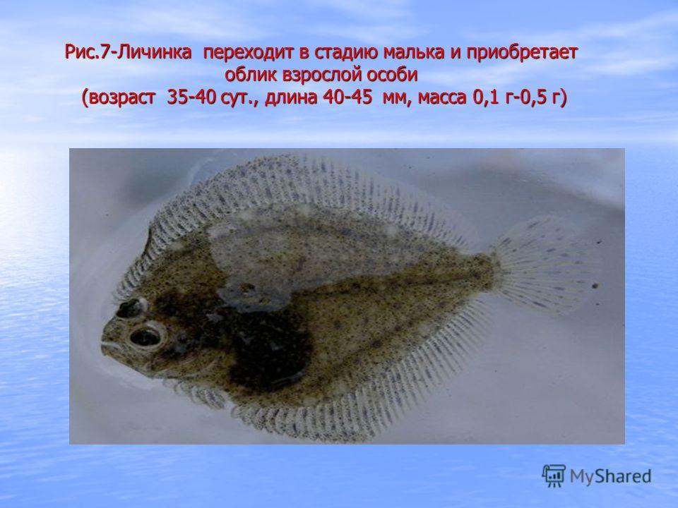 Рис.7-Личинка переходит в стадию малька и приобретает облик взрослой особи (возраст 35-40 сут., длина 40-45 мм, масса 0,1 г-0,5 г)