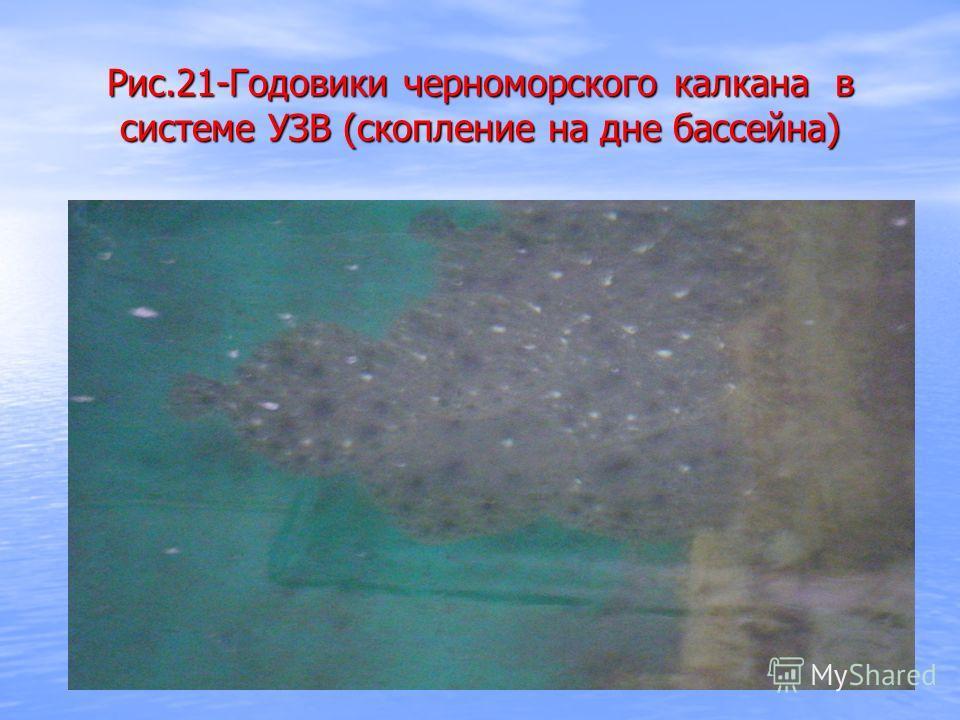 Рис.21-Годовики черноморского калкана в системе УЗВ (скопление на дне бассейна)