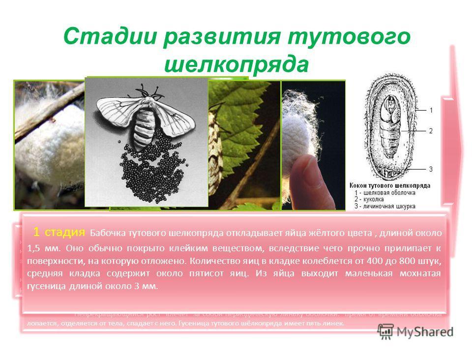 Стадии развития тутового шелкопряда 2 стадия Гусеница активна с момента вылупления: она ползает в поисках листьев тутового дерева и, найдя их начинает жадно есть. Жизнь гусеницы проходит в еде. Только что появившиеся на свет гусеницы грызут исключите