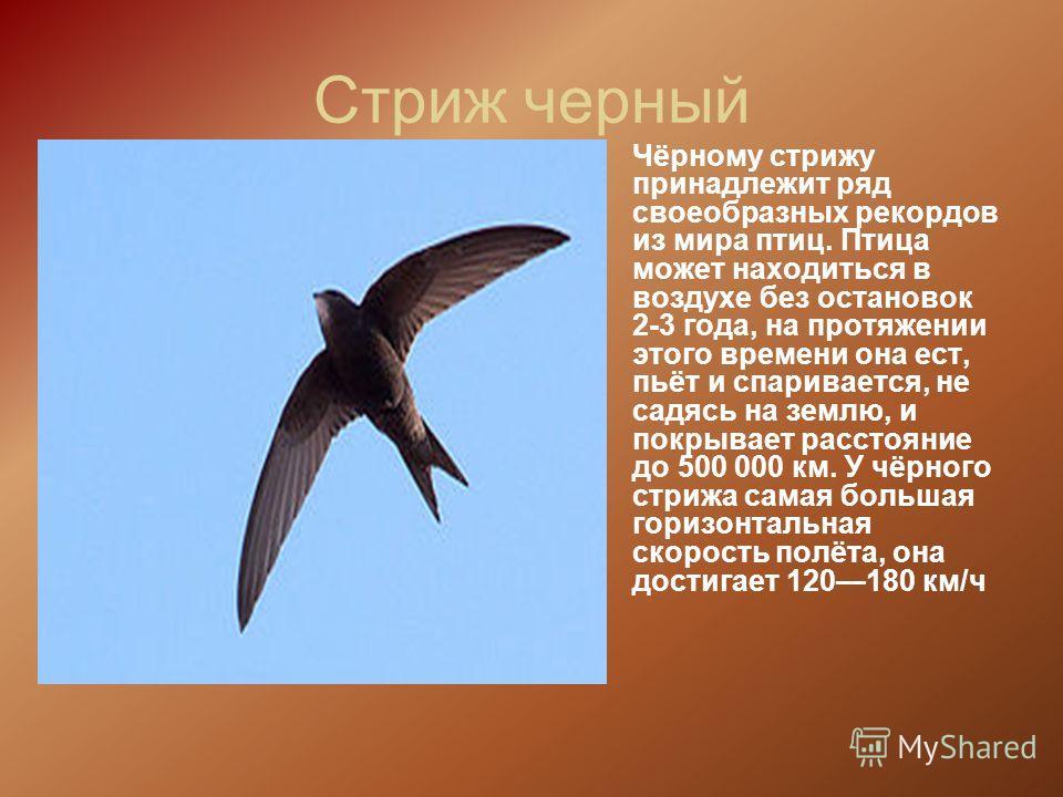 Стриж черный Чёрному стрижу принадлежит ряд своеобразных рекордов из мира птиц. Птица может находиться в воздухе без остановок 2-3 года, на протяжении этого времени она ест, пьёт и спаривается, не садясь на землю, и покрывает расстояние до 500 000 км