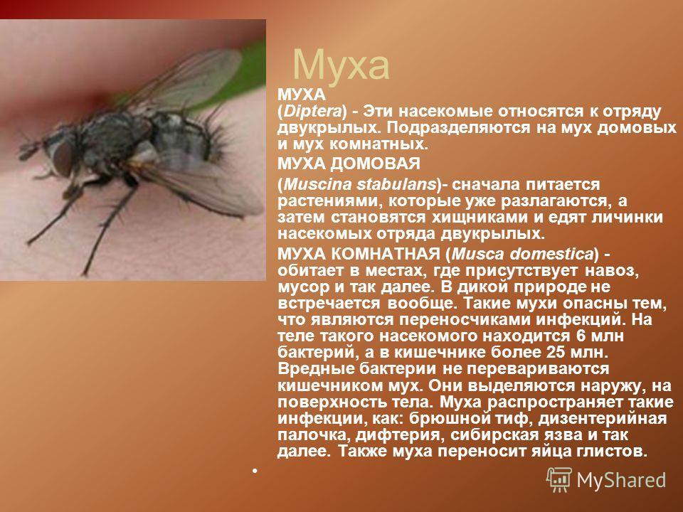Муха МУХА (Diptera) - Эти насекомые относятся к отряду двукрылых. Подразделяются на мух домовых и мух комнатных. МУХА ДОМОВАЯ (Muscina stabulans)- сначала питается растениями, которые уже разлагаются, а затем становятся хищниками и едят личинки насек