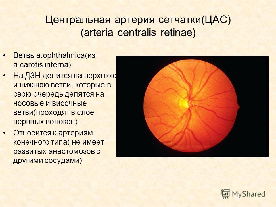 Центральная артерия сетчатки(ЦАС) (arteria centralis retinae) Ветвь а.ophthalmica(из a.carotis interna) На ДЗН делится на верхнюю и нижнюю ветви, которые в свою очередь делятся на носовые и височные ветви(проходят в слое нервных волокон) Относится к